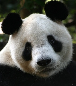 pandaeyes